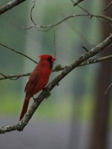 northern-cardinal-1306002400pCG