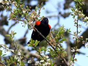 a-red-winged-blackbird-looks-below-from-its-position-on-a-tree-branch_w725_h544